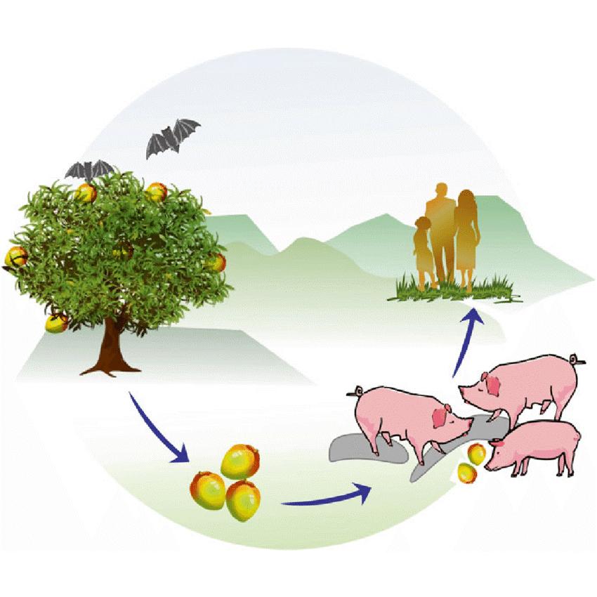 ตรวจเชื้อไวรัสนิปาห์ (Nipah virus)