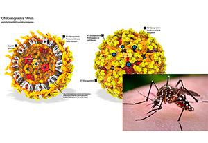 การตรวจหาเชื้อไวรัสชิคุนกุนยา (Chikungunya virus)