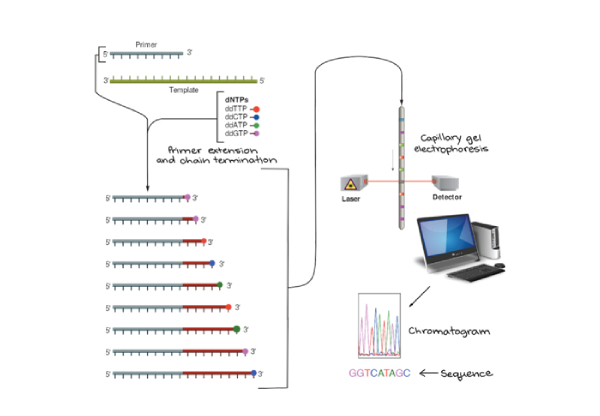Capillary DNA sequencing (Sanger Sequencing)